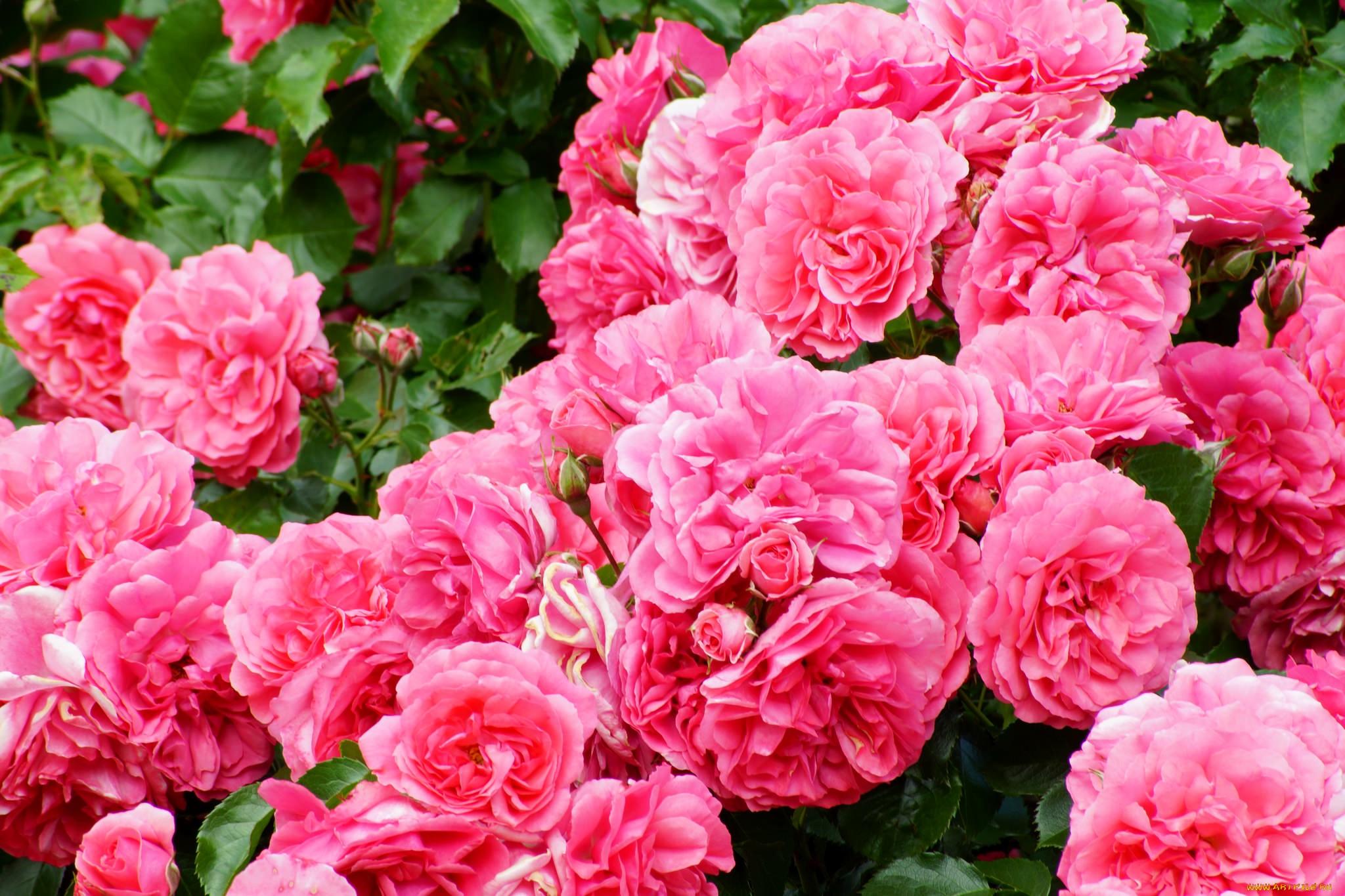 К чему снится розовые розы