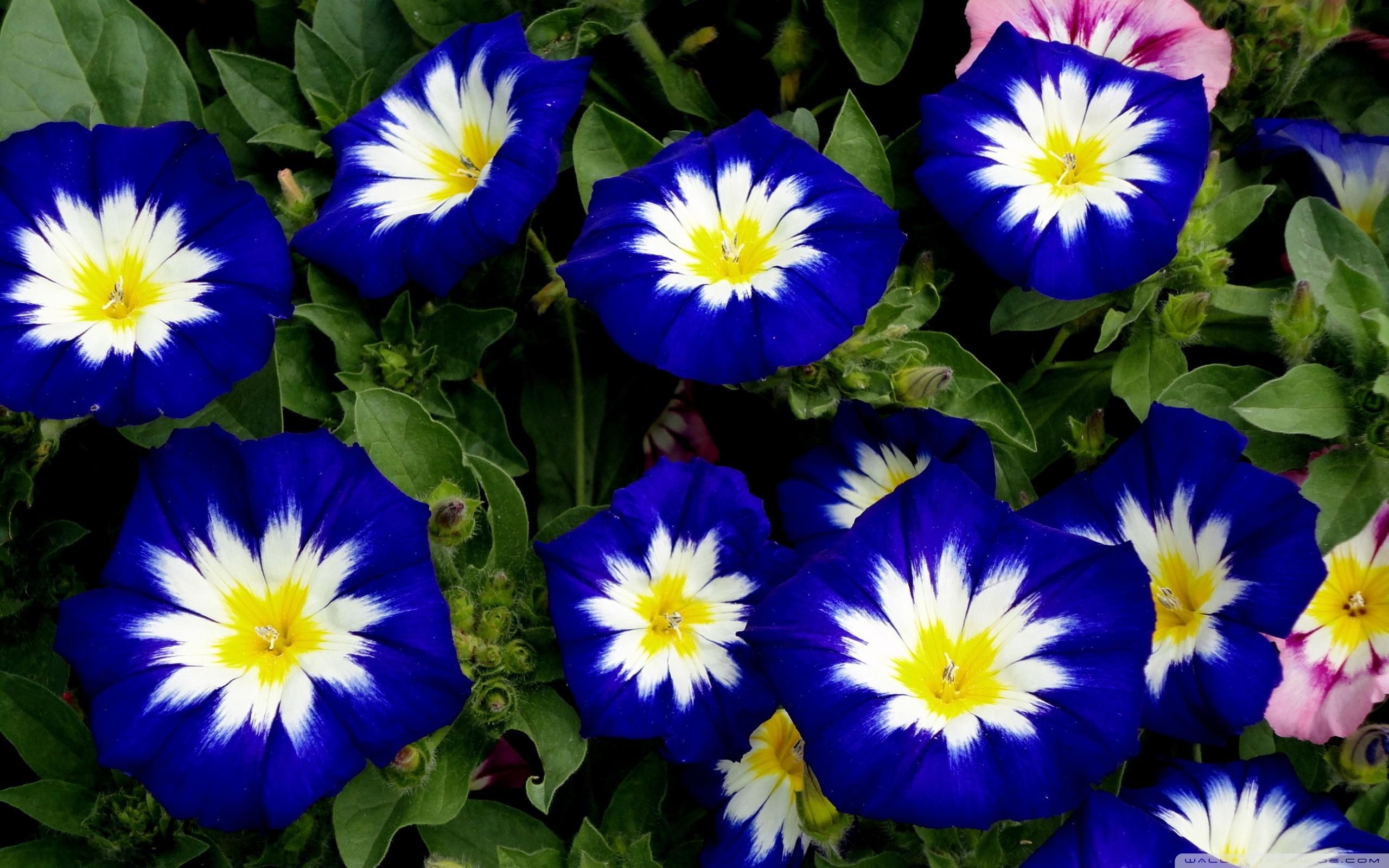 К чему снятся синие цветы