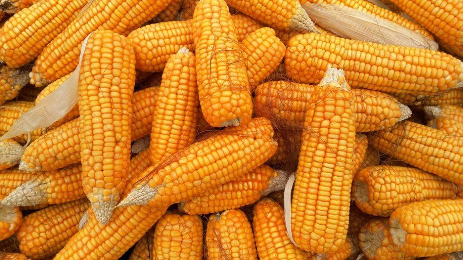 Снится желтая кукуруза